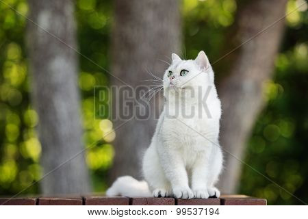 adorable grey british shorthair cat outdoors