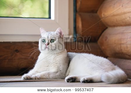 grey british shorthair cat resting indoors