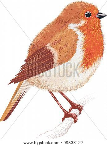 Robin sitting on a tree branch isolated on white background
