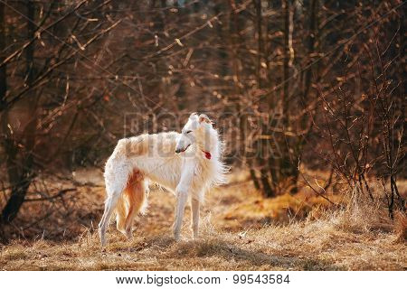 Dog Russian Borzoi Wolfhound Head , Outdoors Spring, Autumn Seas