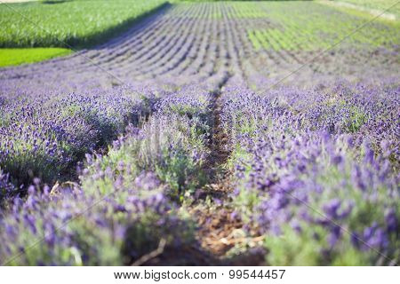 Lavender in the field