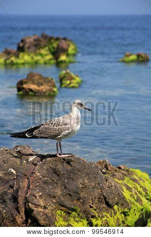 Gull On The Stone