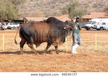 Brown Brahman Bull Lead By Handler Photo
