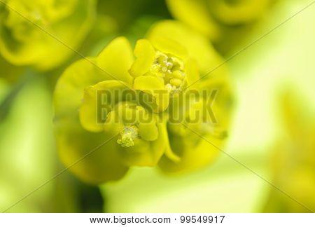 Cypress Spurge (Euphorbia Cyparissias) Inflorescence