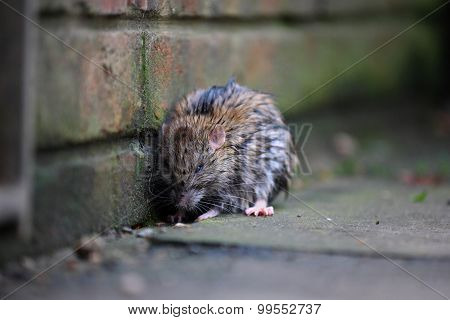 A wet rat on the ground after a rainy night