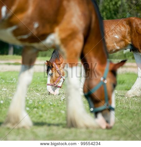 Grazing Draft Horses
