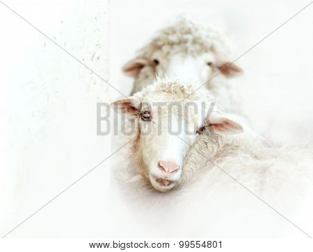 Two White Sheeps On White Background
