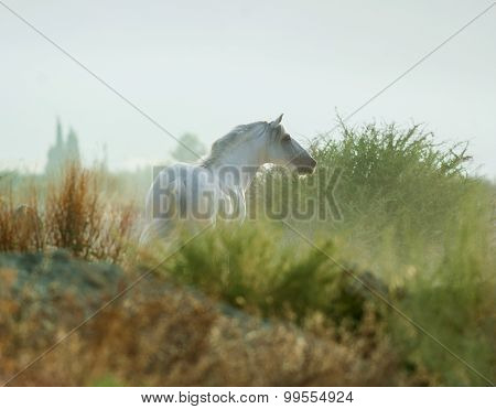 Wild Andalusian Horse In Prairies