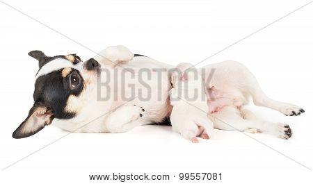 Baby Puppy Sucks Milk