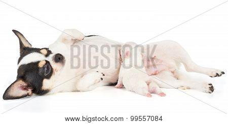 Puppy Sucks Milk