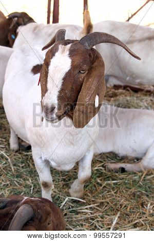 Healthy White And Brown Boerbok, Africander, Afrikaner Common Goat