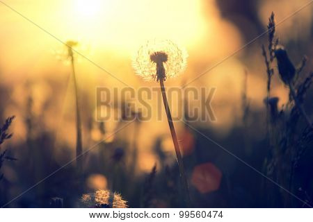 Dandelion field over sunset background. Dandelion blowing seeds in the wind. Nature scene