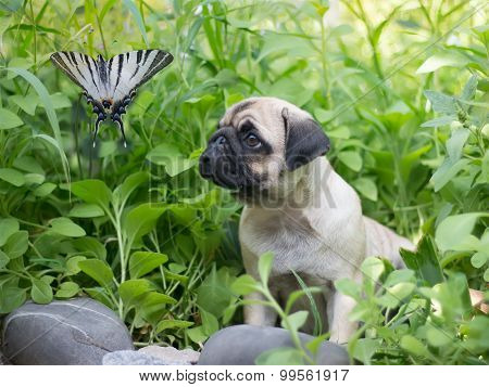 the puppy pug in thickets is watching on butterfly known as papilionidae