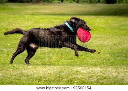 Dog running with toy in mouth
