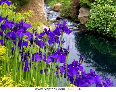 Deep Purple Iris Along Creek Bank