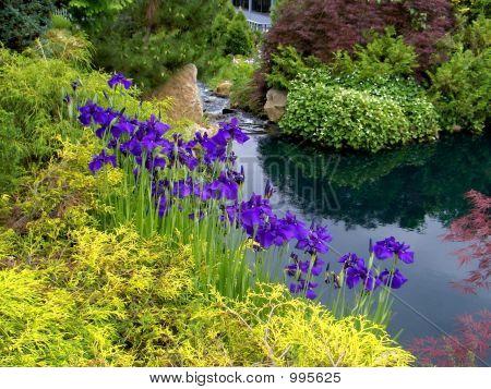 Purple Iris On Creek Bank