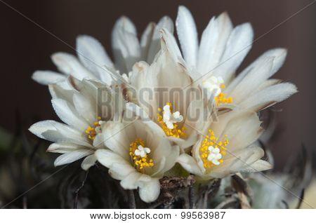 Flowering Cactus Turbinicarpus Macrochele