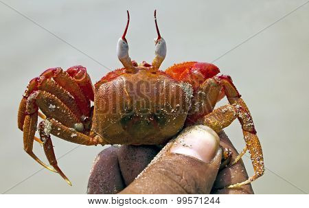 Red crabs of Bay of Bengal