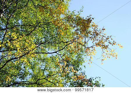 Birch In The Late Summer.