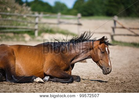 Horse Lying In The Stable Outdoor