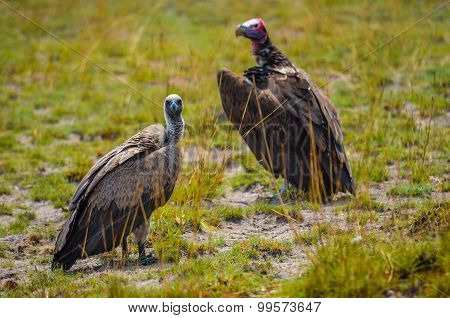 vultures standing on the ground