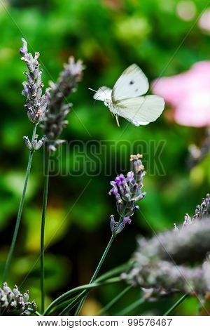 Butterfly Flying Over Lavender Flowers