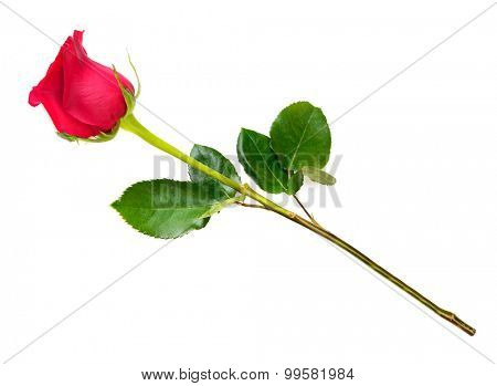 A red rose bloom by gift