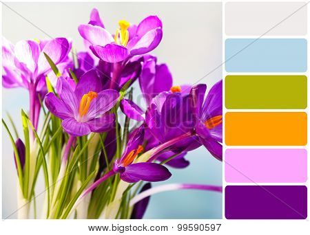 Purple crocus on light background and palette of colors