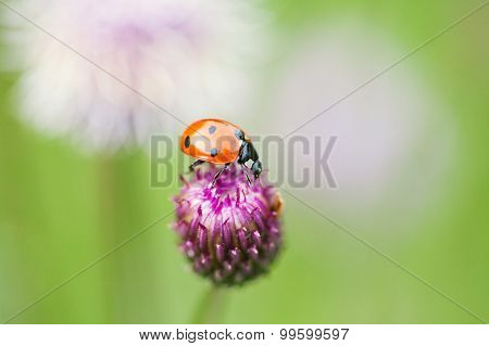 Red Ladybug. Lady Bird On A Top Blue, Violet Flower