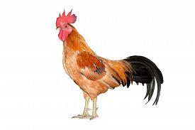 image of bantams  - chicken bantam  - JPG