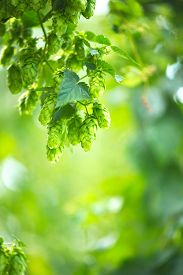 image of brew  - Hop plant close up growing on a Hop farm - JPG