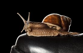 image of garden snail  - Macro of garden snail  - JPG