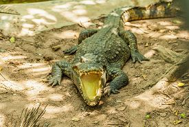 foto of gator  - Alligator with mouth open in the wild - JPG