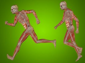 picture of male body anatomy  - Concept or conceptual 3D human man or male skeleton anatomy transparent body over green gradient background - JPG