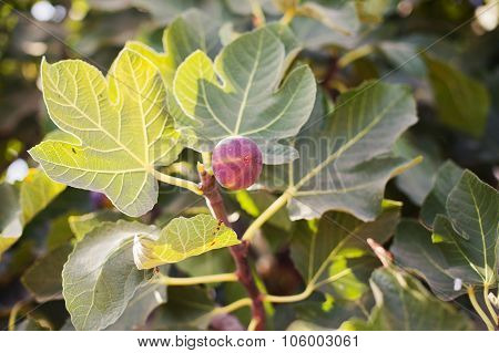 Fig On The Branch Of A Fig Tree