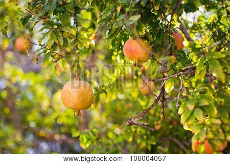 Red And Yellow Ripe Pomegranates On Tree Branch. The Foliage Background