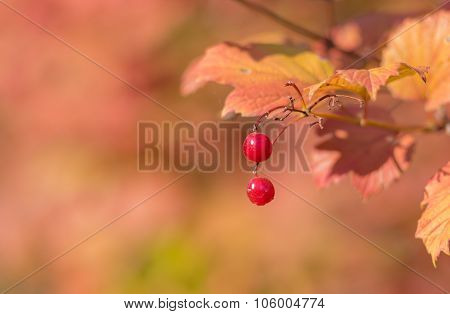 Berries of ripe organic snowball tree in autumnal orchard