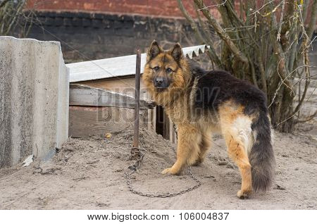 Cute country dog attached with short chain