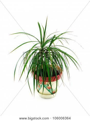 Home Plant In Flowerpot Isolate On White