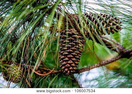 Pine Cone Andgreen  Tree Branches