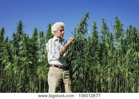 Confident Entrepreneur Checking Hemp Plants