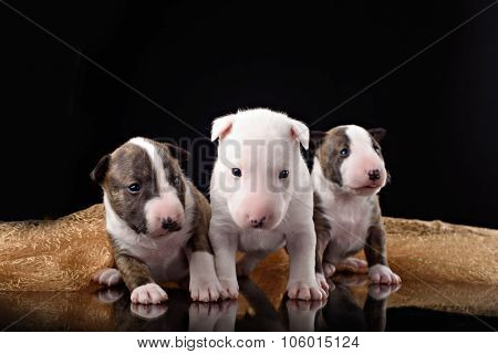 three Bull Terrier puppies with black