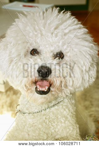 Cute Male Bichon Frisé