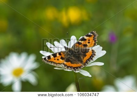 Painted lady Vanessa cardui butterfly on a Dandelion