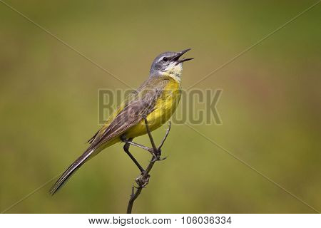 Singing Wagtail
