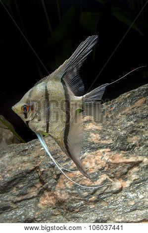 Cichlid Fish From Genus Pterophyllum