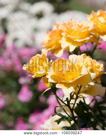Colorful Rose Garden Detail With Yellow Roses In The Foreground