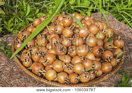 Freshly harvested medlars