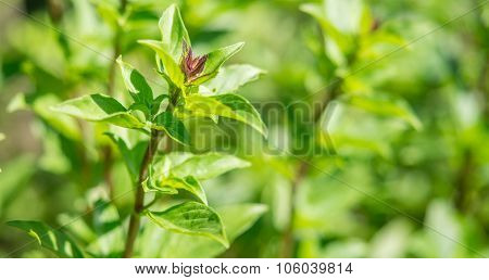 Thai Basil Is Type Of Basil Native To Southeast Asia That Has Been Cultivated To Provide Distinctis.