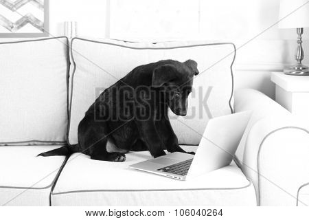 Funny young black Labrador near notebook on white sofa